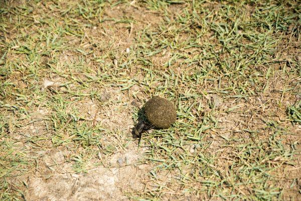 Bok Böceği, Yönünü Belirleyen Tek Böcek